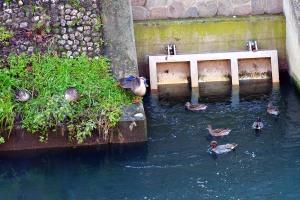 軽鴨、小鴨 Spot-billed duck and Green-winged teal