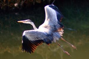 青鷺 Grey Heron