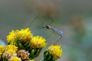 Crane fly?
