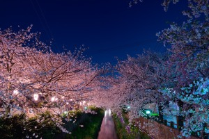 Mama River, cherry blossoms at night