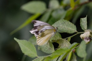 Pieris melete