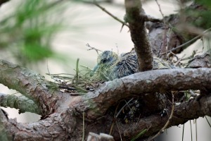 Chick of turtledove