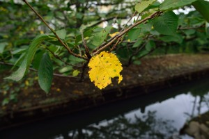 Yellow leaf of cherry tree