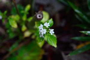 White Patrinia