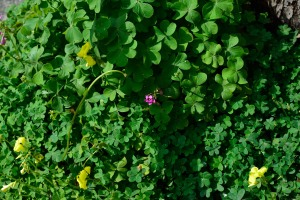 Buttercup oxalis and Pink sorrel