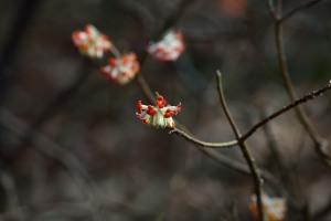 Oriental paperbush