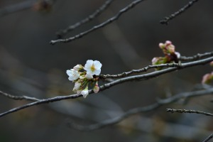 Cherry blossoms began to bloom