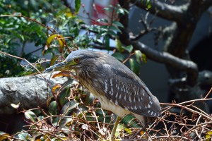 Young bird of Black-crowned night heron
