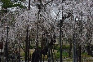 Fusehime Sakura