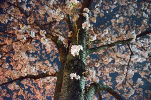 Cherry blossoms along the Mama river