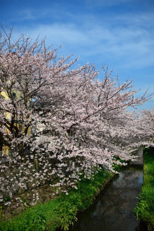 Cherry blossoms in the morning