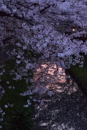 Cherry blossoms over evening sky