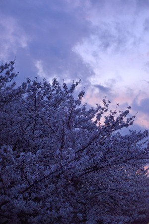 Cherry blossoms under evening sky