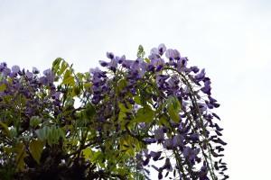 Wisteria flowers began to bloom