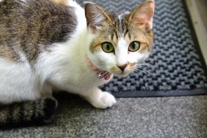 Barber cat