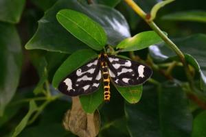 Plum Cankerworm Moth
