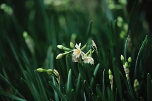 Japanese daffodils