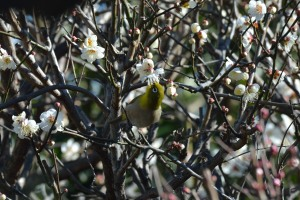 Japanese White-eye came