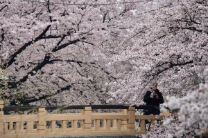Cherry-blossom viewing on a cold day