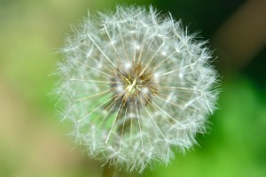 Fluff of dandelion