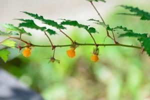 Momiji-ichigo fruit