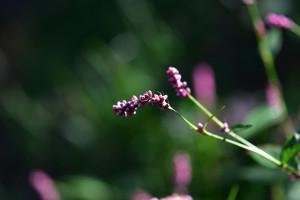 Creeping Smartweed