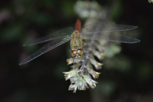 Autumn darter