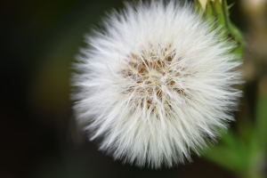 Common sowthistle fluff