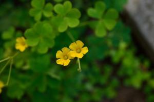 Yellow sorrel