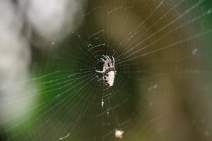 garbageline spider