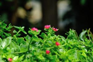 Babu Sun Rose