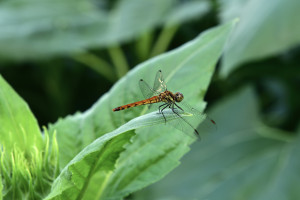 Autumn darter on sunflower leaves
