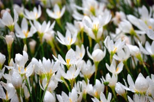 White rain lily and raindrops
