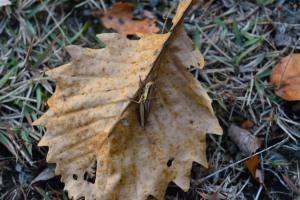 Rice grasshopper on the fallen leaf of Daimyo Oak