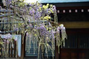 Koenji Fuji flower