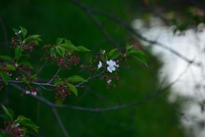 Mamagawa Lingering Cherry